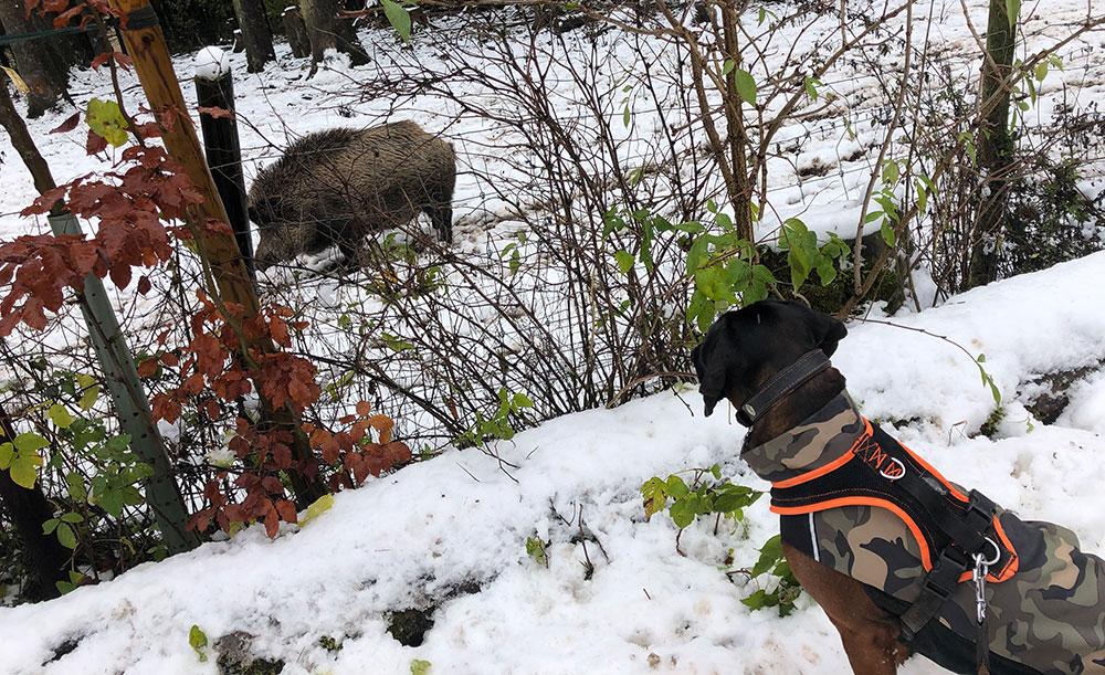 Jagd Kontroll Training: Hund mit Wildschein